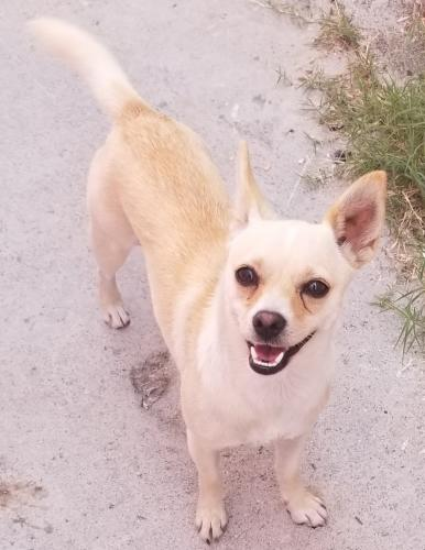 Lost Female Dog last seen Broadway & 101st St., Los Angeles, CA 90003
