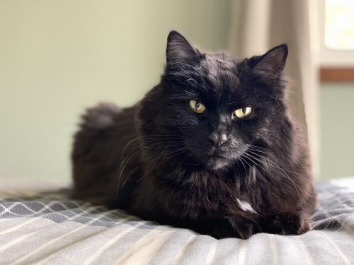 Lost Male Cat last seen Horning Road/Carlton Dr, Kent, OH 44240