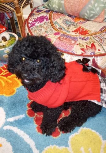 Lost Female Dog last seen Near central blvd 33144 miami , Miami, FL 33144