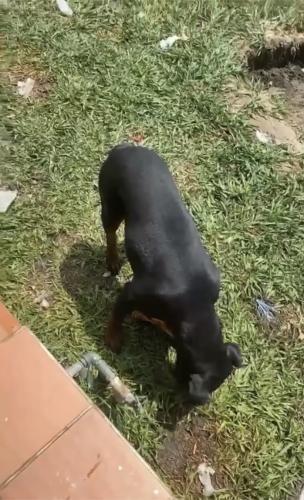 Lost Female Dog last seen S. Cookacre Ave, Compton, CA 90221