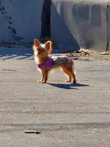 Lost Female Dog last seen 68th St & High near Edward Vincent Jr Park, Inglewood, CA 90302