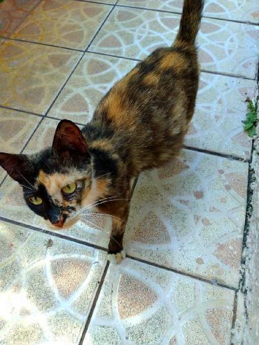 Found/Stray Female Cat last seen miramar bvd buttonwood ave, Miramar, FL 33025