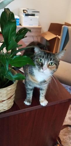 Lost Female Cat last seen 18th St & East Missouri, Phoenix, AZ 85016