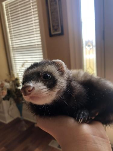 Lost Male Ferret last seen Chase Belmont country club , Ashburn, VA 20147