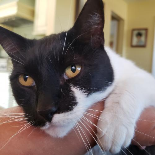 Lost Male Cat last seen Hawthorne Blvd and 162nd St, Lawndale, CA 90260