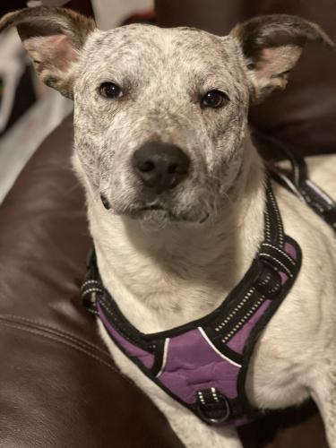 Lost Male Dog last seen I240 and i35, Oklahoma City, OK 73135
