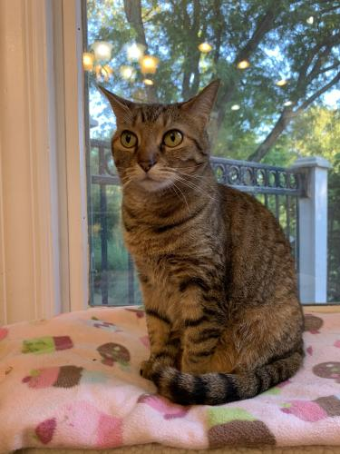 Lost Female Cat last seen Cambridge, Middletown, Ohio, Middletown, OH 45044