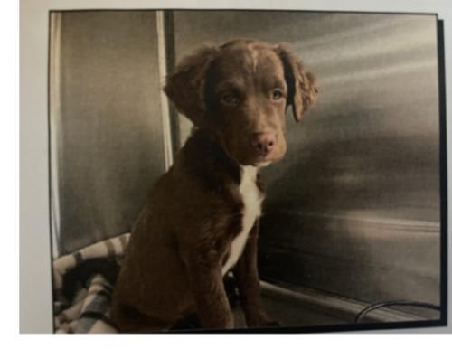 Lost Female Dog last seen Pioneer & corn valley , Grand Prairie, TX 75051