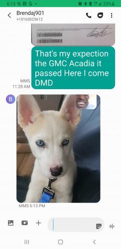Lost Female Dog last seen Near hollow tree lane Houston Texas build apt12104 , Houston, TX 77090