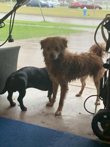 Found/Stray Male Dog last seen Grand Vista, Fort Bend County, TX 77407