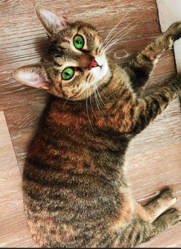 Lost Female Cat last seen Clifton Blve & St Charles , Lakewood, OH 44107