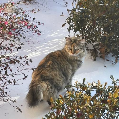 Lost Female Cat last seen Keystone Fairway & Sonoma Del Norte, Houston, TX 77095