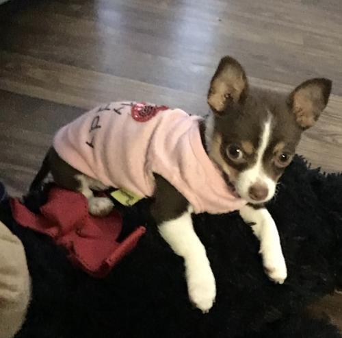 Lost Female Dog last seen Near Beechnut St Houston, TX  77036 United States, Houston, TX 77036