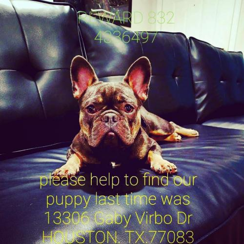 Lost Unknown Dog last seen GABY VIRBO DR , Houston, TX 77083
