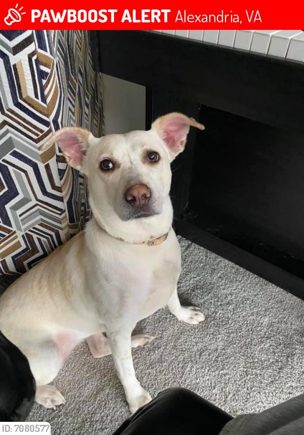 Lost Female Dog last seen The Huntington Gateway and planet fitness corner in Alexandria Virginia , Alexandria, VA 22303