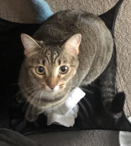 Lost Female Cat last seen Fairfield Inn, Lake City, FL 32024