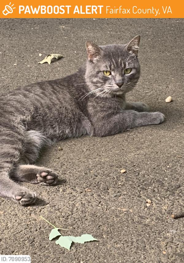 Found/Stray Male Cat last seen Ollie , Fairfax County, VA 22032