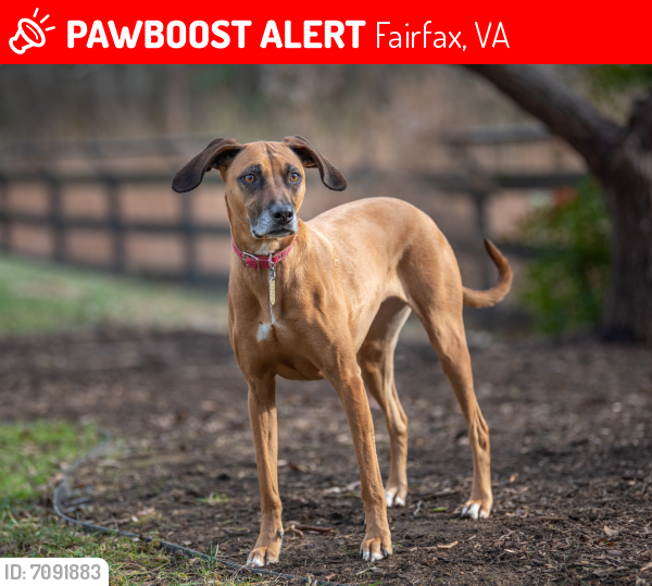 Lost Female Dog last seen Fairfax County Parkway, Rt.29 & West Ox Road Costco, Fairfax, VA 22030