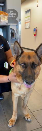 Found/Stray Female Dog last seen Powells Tavern Place, Fairfax County, VA 20170