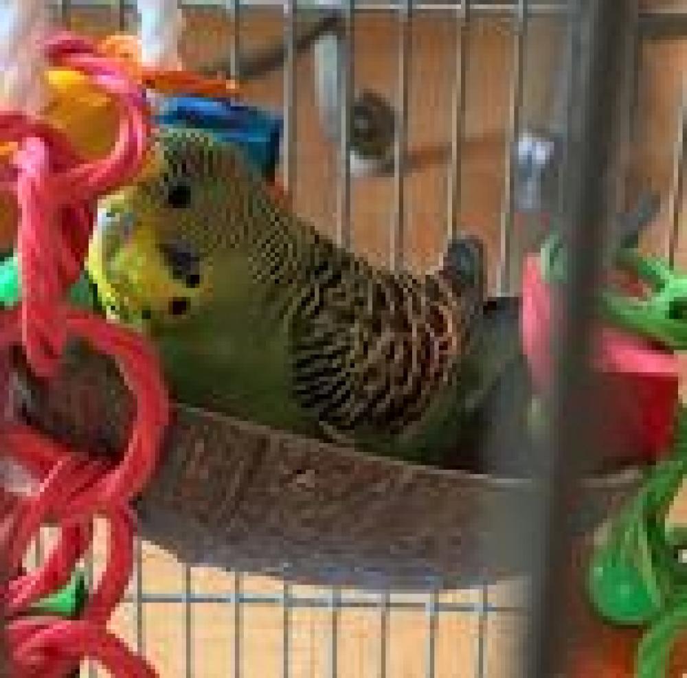 Shelter Stray Unknown Parakeet (budgie) last seen McLean, VA , Fairfax, VA 22032