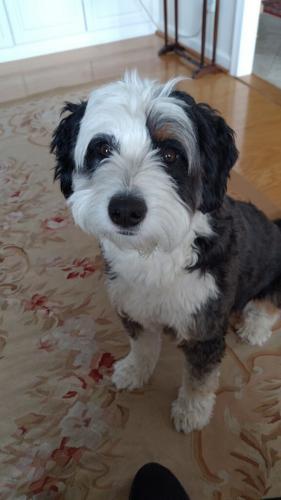 Lost Female Dog last seen Hurst St. Falls Church VA, Idylwood, VA 22043