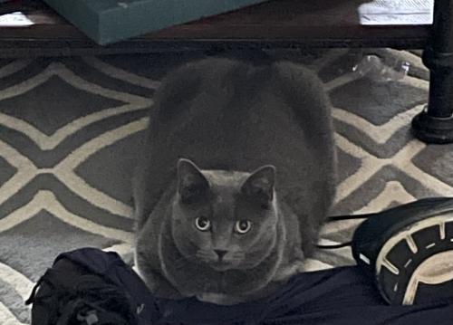 Lost Female Cat last seen Avamere Street, Bethesda, MD 20814