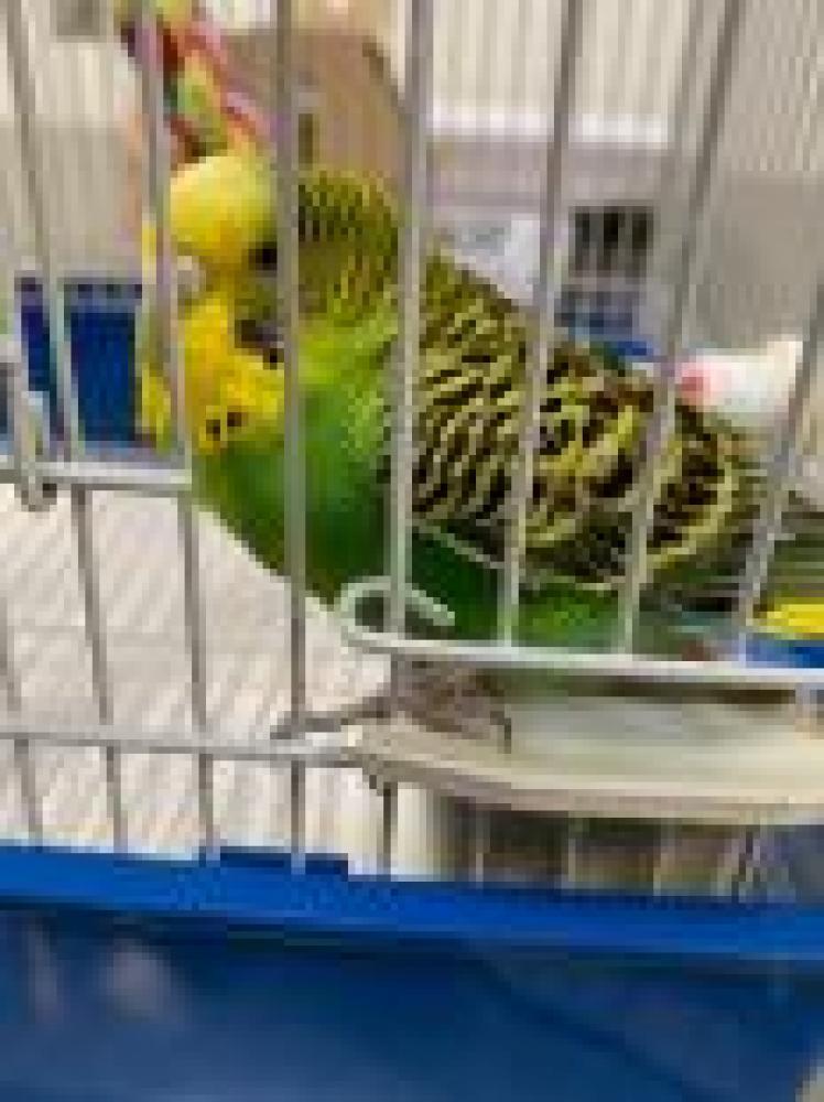 Shelter Stray Female Parakeet (budgie) last seen Alexandria, VA 22309, Fairfax, VA 22032