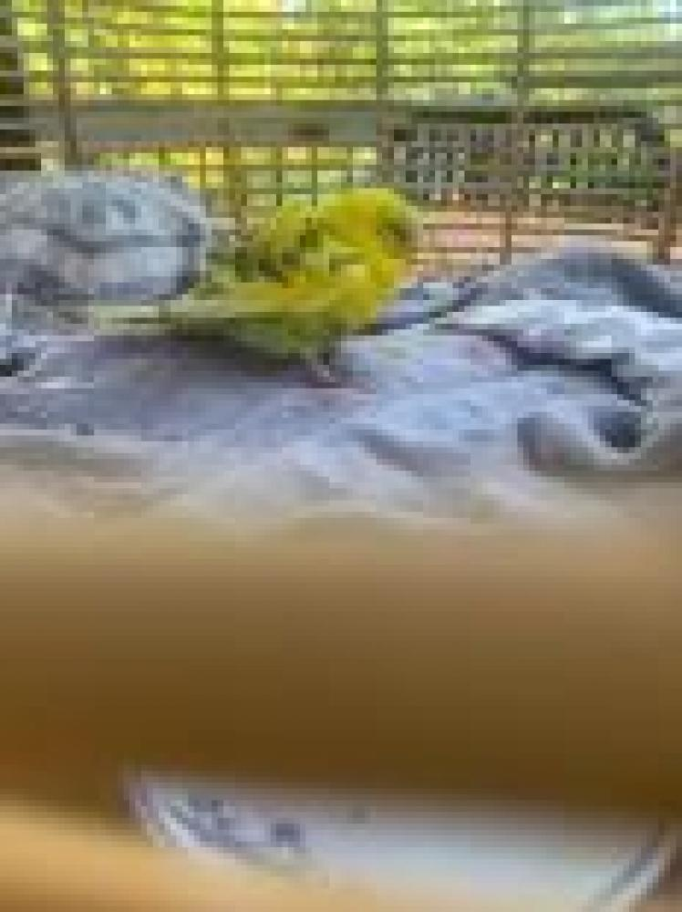 Shelter Stray Unknown Parakeet (budgie) last seen Falls Church, VA 22041, Fairfax, VA 22032