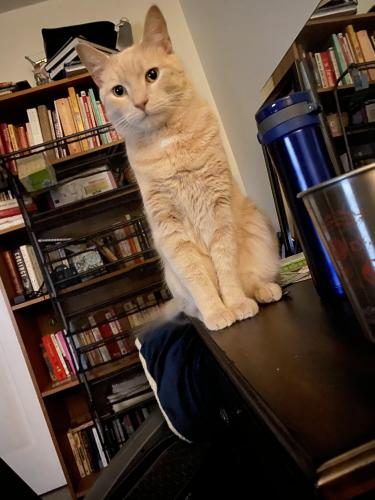 Lost Male Cat last seen Woodford rd and Tysons ct, Vienna, VA 22182