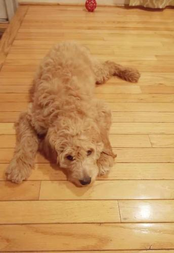 Lost Male Dog last seen Festival dr to steeple rd , Montgomery County, MD 20841