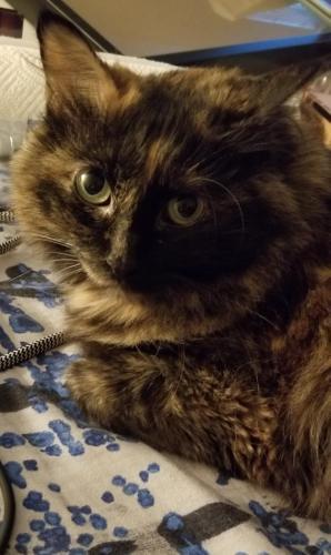 Lost Female Cat last seen Brighton Way, Manassas Va, West Gate, VA 20109