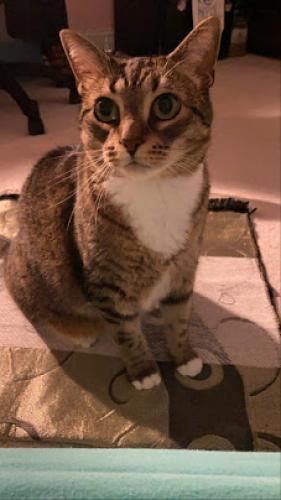Lost Female Cat last seen Braddock and Shirley Gate, Fairfax, VA 22032