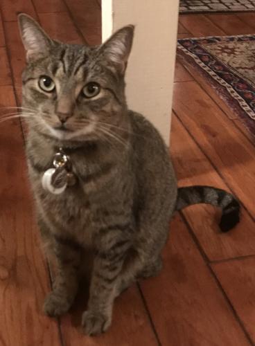 Lost Male Cat last seen Wagner Lane, Bethesda, MD, Bethesda, MD 20816