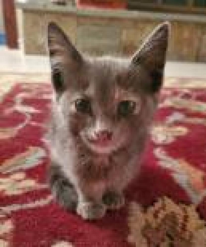 Shelter Stray Female Cat last seen Falls Church, VA 22042, Fairfax, VA 22032
