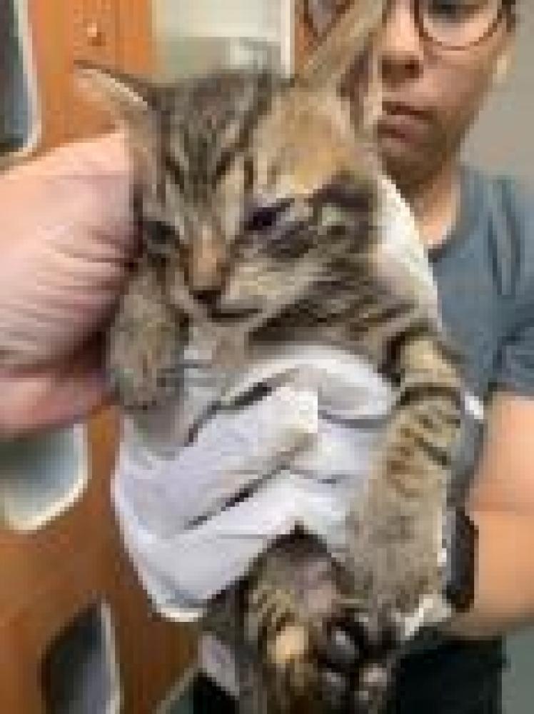 Shelter Stray Female Cat last seen Alexandria, VA 22304, Fairfax, VA 22032