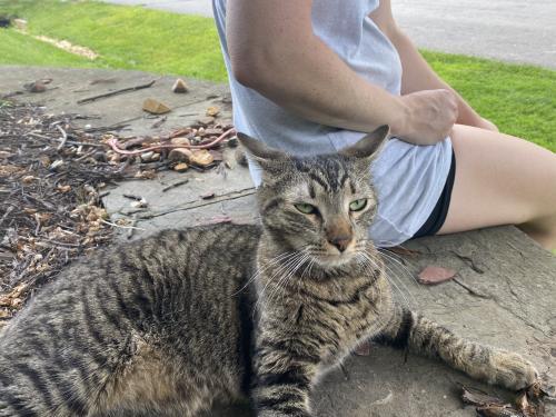 Found/Stray Male Cat last seen Algonkian Parkway, Potomac Falls, VA 20165