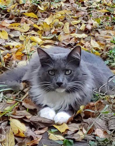 Lost Male Cat last seen South Richmond & Richmond, Houston, TX 77082