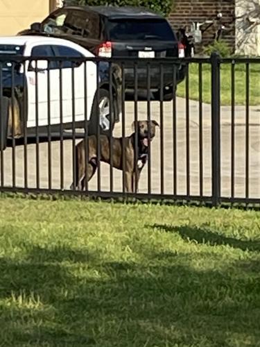 Found/Stray Unknown Dog last seen Miramesa and Fry Rd, Cypress, TX 77433