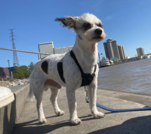 Lost Male Dog last seen winsome ln by westheimer in Houston texas, Galleria, Houston, TX 77057