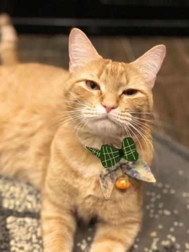 Lost Male Cat last seen Near Idlebrook dr , Houston, TX 77070