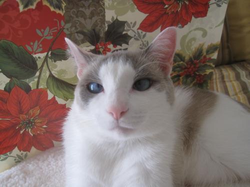 Lost Male Cat last seen Madison Crescent neighborhood at corner of Rt. 29 and Rt. 55 near/behind Blue Ridge Seafood, Gainesville, VA 20155