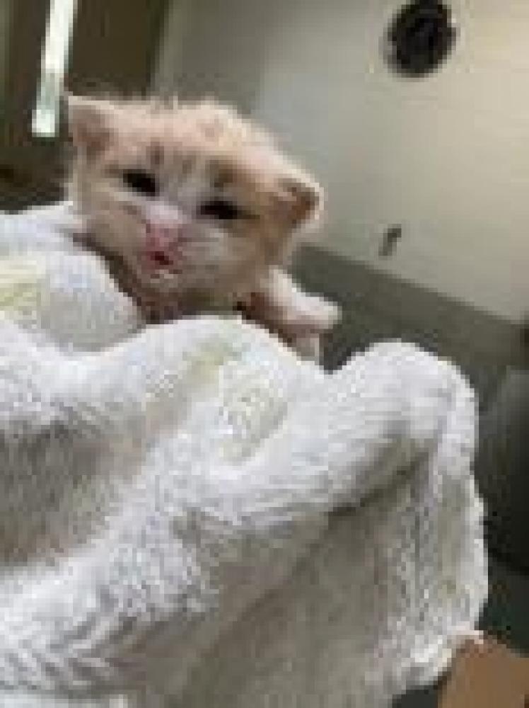 Shelter Stray Male Cat last seen Fairfax County, VA 20151, Fairfax, VA 22032