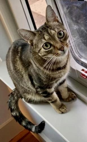 Lost Male Cat last seen W 10th St & Patterson Ave, Austin, TX 78703