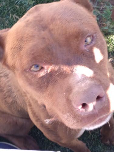 Lost Female Dog last seen Lazona and Dana , Mesa, AZ 85204