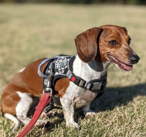 Lost Female Dog last seen The Rustic, Houston, TX 77010