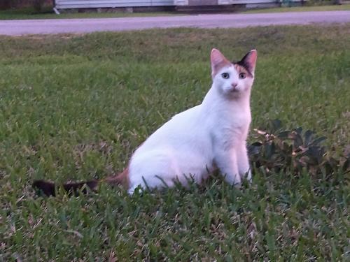 Lost Female Cat last seen Gustine Lane, Houston, TX 77031