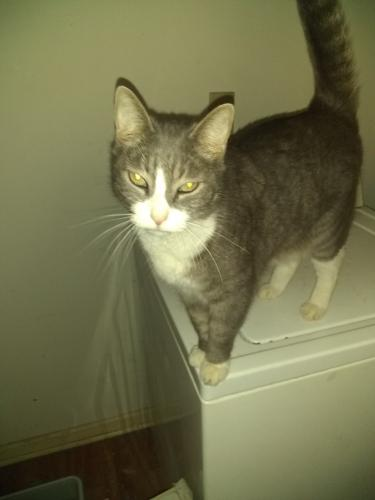 Lost Male Cat last seen Highland/sunset rd, McDonough, GA 30253