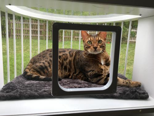 Lost Male Cat last seen Thornecrest Dr near Cool Spring Rd, Mechanicsville, VA 23116