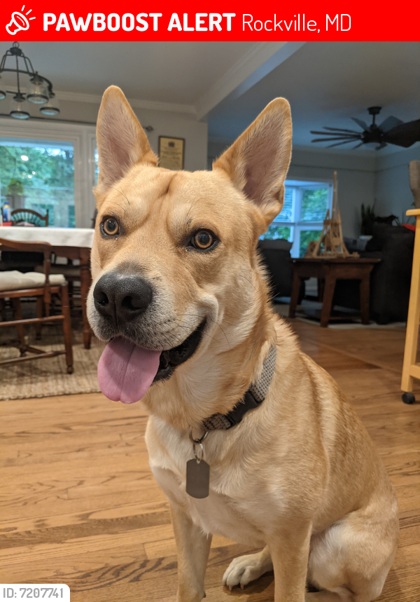 Lost Male Dog last seen Sycamore Lane and Oaktree Rd, Rockville, MD 20853
