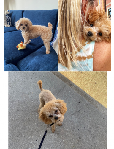 Lost Male Dog last seen West Wolfram and North Paulina Street, Chicago, IL 60657